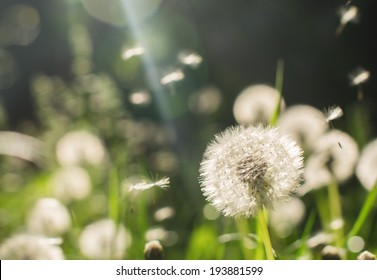 Dandelions on a sunny day with lens flare