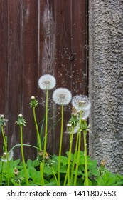 Dandelions with round, white fluff heads on a dark wood fence backdrop