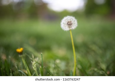 dandelions seeds and flower