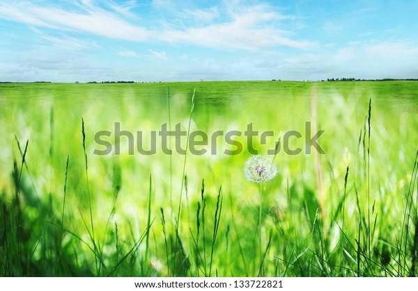 dandelions in spring farm field. close up