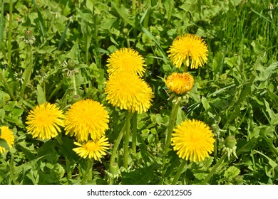Dandelions in the spring meadow. Bright flowers  on background of green meadows.