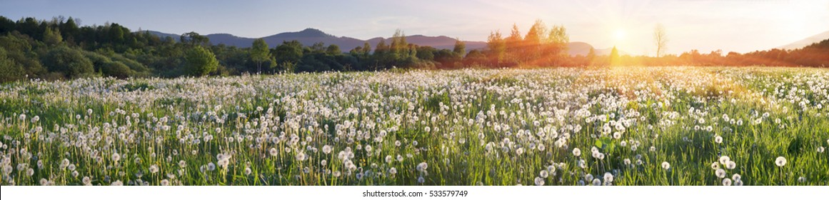 Dandelions at sunrise in the valley Hust, Transcarpathian region, Ukraine. Large field fluffy colors - against the background of the protected valley. beautiful flowering haze and air seeds