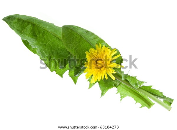 dandelions ( taraxacum ) flower isolated on white background