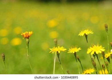 Dandelions Taraxacum officinale on a green background