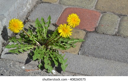 Dandelions are in the urban environment.