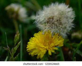 Dandelions white and yellow over a green background