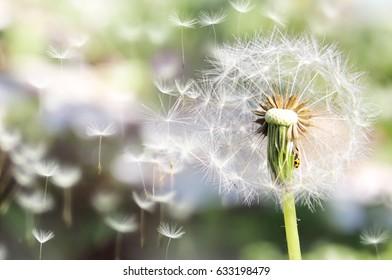 Dandelions. wildflowers.