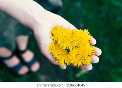dandelions in a woman's hand