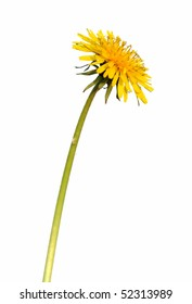 Dandelion`s yellow flower with pedicle, isolated on white