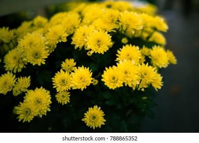 Dandelions yellow flower in Switzerland
