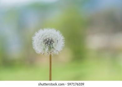 dandelion/Spore-1