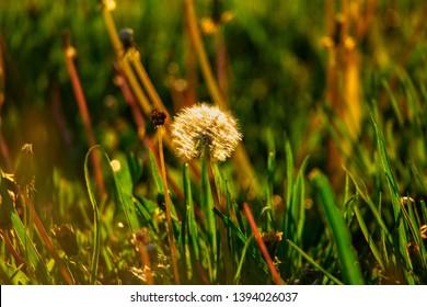 Dandellion blowball in summer grass stands alone backlit by sunset light