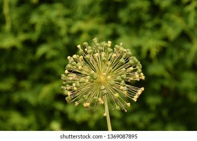 Dandellion head in seed