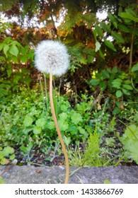 Dandellion hidden in green grass