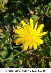 Dandellion wild flower