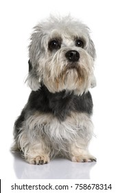 Dandie Dinmont Terrier, 2 years old, sitting in front of white background