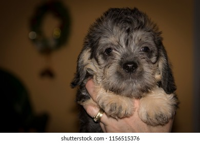 Dandie dinmont terrier baby.  Cute puppy only one month old