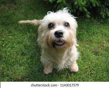 Dandie dinmont terrier is happy dog