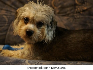 Dandie dinmont terrier is my sweet model