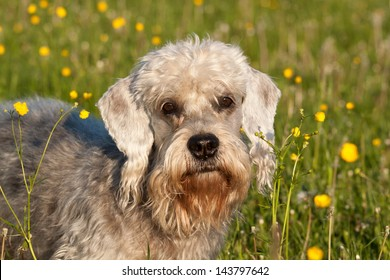 Dandie Dinmont Terrier on the meadow