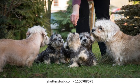 Dandie dinmont terrier pack. Mom, grandma and their puppies are on the picture