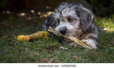 Dandie dinmont terrier - puppy is biting stick