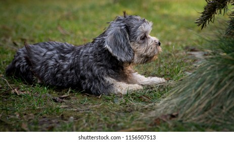 Dandie dinmont terrier puppy is looking at the unknown world