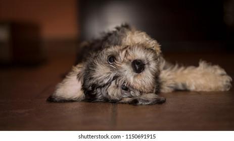 Dandie dinmont terrier  - puppy is lying down