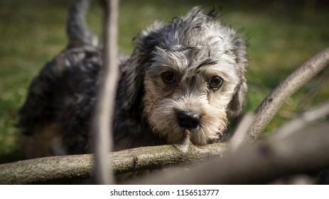 Dandie dinmont terrier puppy playing on the garden