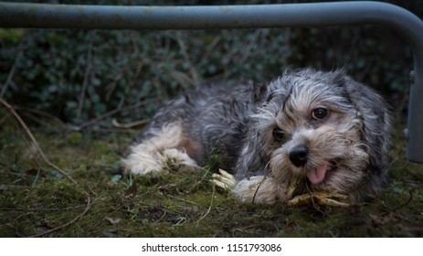 Dandie dinmont terrier puppy  with roguish smile and the most beautiful eyes