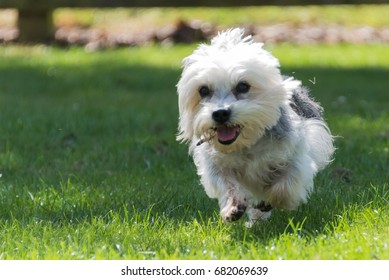 Dandie Dinmont Terrier running on grass