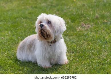 Dandie Dinmont Terrier sitting on a lawn looking up and to the left