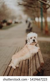 dandie dinmont terrier white dog close up looking up