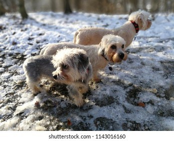 Dandie dinmont terriers  in the forest