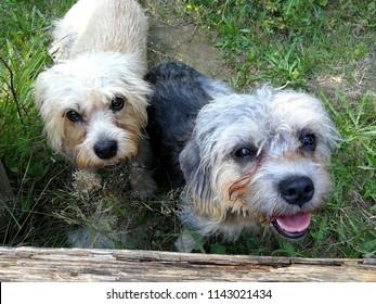 Dandie dinmont terriers walked the big rout