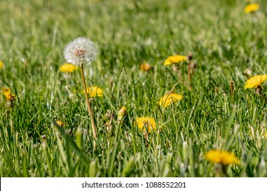 dandilion blooms in lawn ready to start seeding