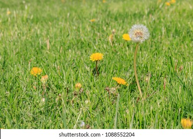 dandilion blooms in lawn ready to start seeding and spreading