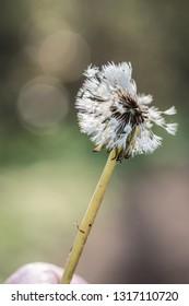 Dandilion flower in the wind