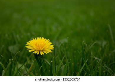 Dandilion with a grassy background