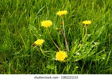 A dandilion growing in a residential lawn.  Dandilions are usually considered noxious weeds and great effort and money is spent to eradicate them.