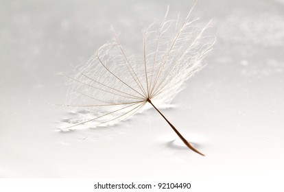 Dandilion lying in puddle of water on a white surface