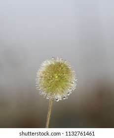 Dandilion on a misty morning. Dulstroom South Africa