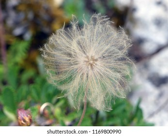 Dandilion ready to send his seed out into the world