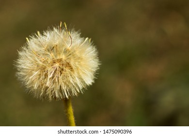 dandilion seed clsoe up, narrow depth of field, blurred background