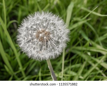 Dandilion seed head in late springtime at Pickmere Lake, Pickmere, Cheshire, UK