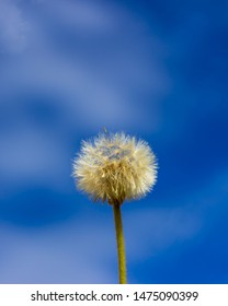 dandilion seeds on the stem with blue sky background