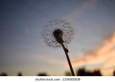 Dandilion with a sunset sky