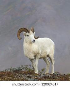 Dandy Dall - Dall sheep. Savage River, Denali National Park, Alaska