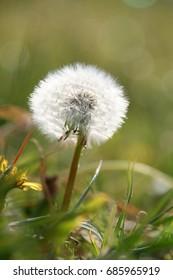 dandylion flower