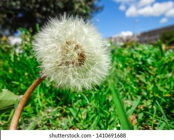 Dandylion flower with blue sky and green lawn around it on a sunny day